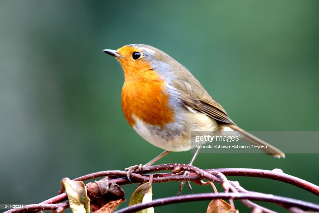 Robin On Branch : Foto de stock