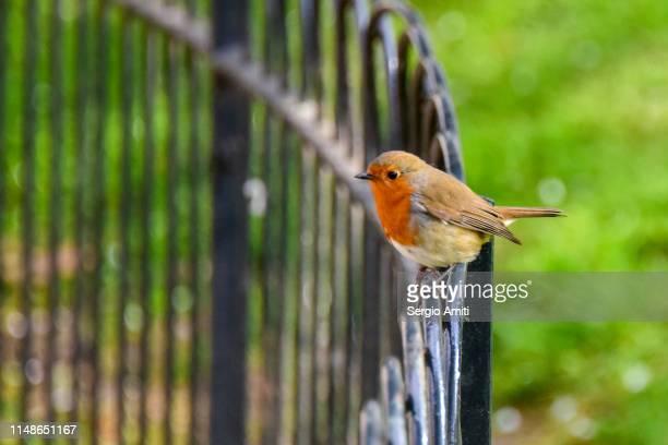 Robin on flower bed railing