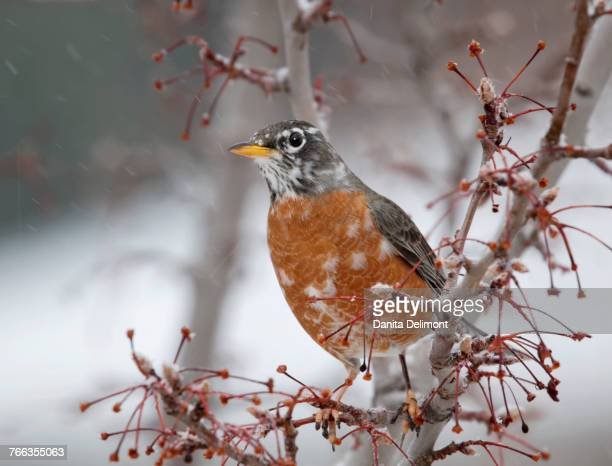 Robin on pear tree, Owens Valley, California, USA