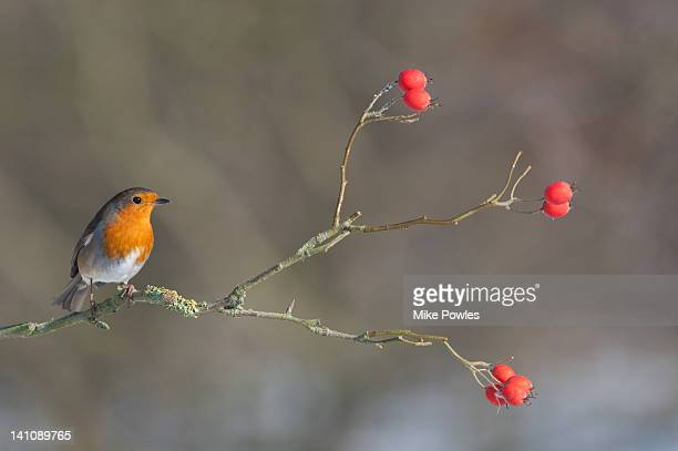 Robin on perch with rose hips Norfolk