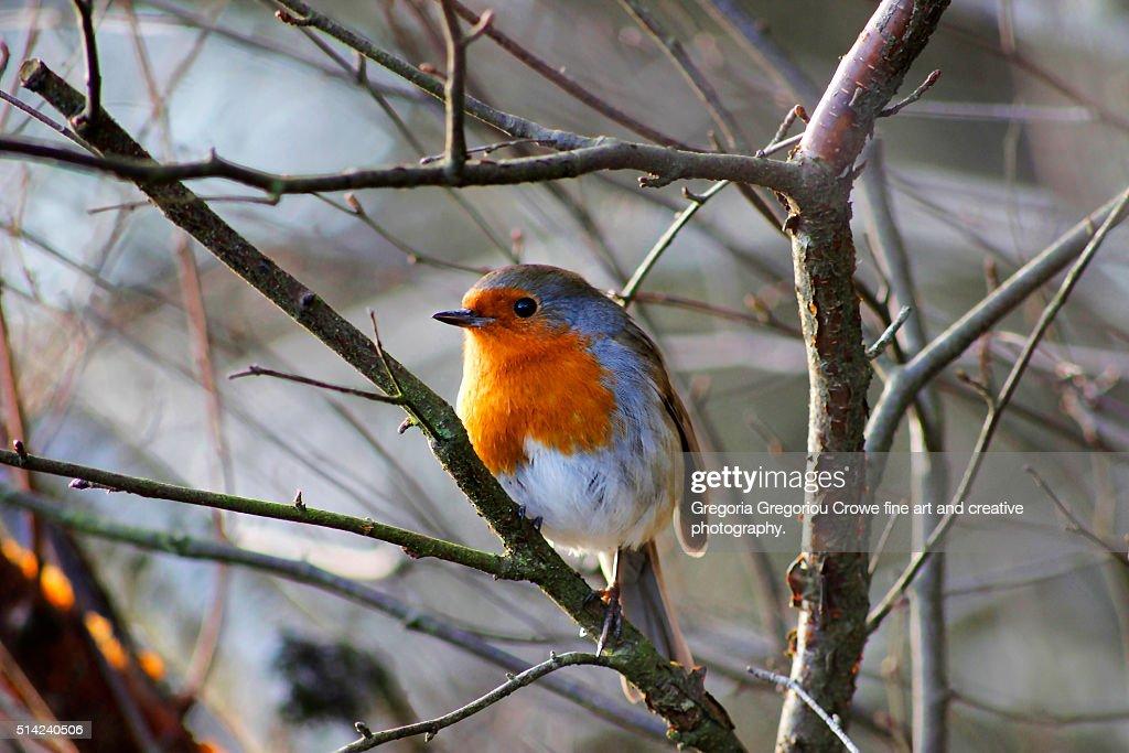 Robin on tree branch : Stock Photo