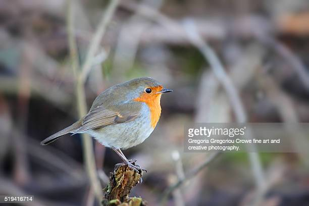 robin on tree branch - gregoria gregoriou crowe fine art and creative photography. stock photos and pictures