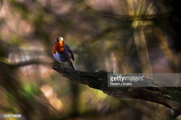 robin perched on a branch in woodland. - sheffield stock pictures, royalty-free photos & images