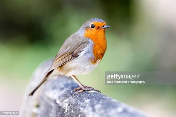 robin perched on wooden bench - pettirosso foto e immagini stock