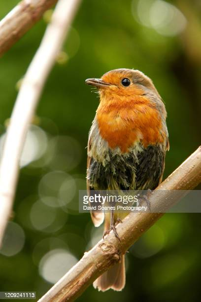 a robin perching on a branch in dublin, ireland - david soanes stock pictures, royalty-free photos & images