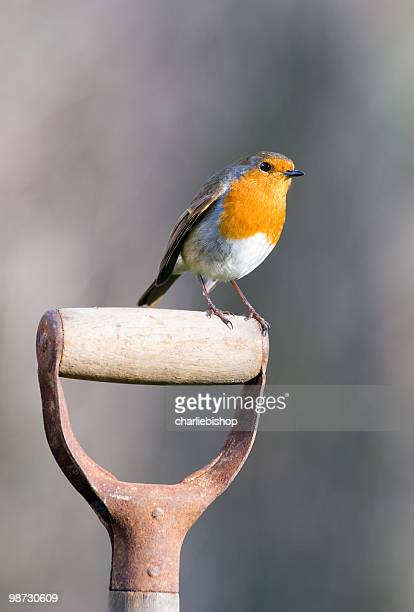 Robin perching on a garden spade