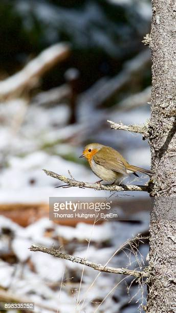Robin Perching On Branch During Winter