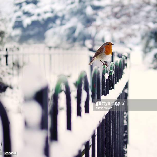 robin perching on fence in winter - pettirosso foto e immagini stock