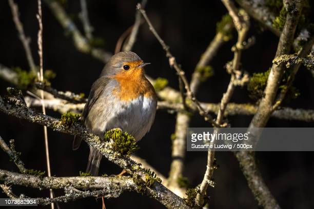 robin - susanne ludwig stock pictures, royalty-free photos & images