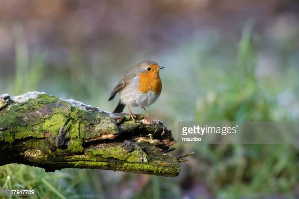 robin (erithacus rubecula) - songbird stock pictures, royalty-free photos & images