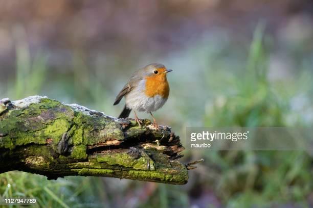 robin (erithacus rubecula) - zangvogel stockfoto's en -beelden