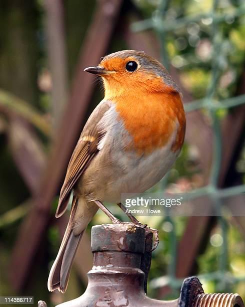 robin (erithacus rubecula) - pettirosso foto e immagini stock