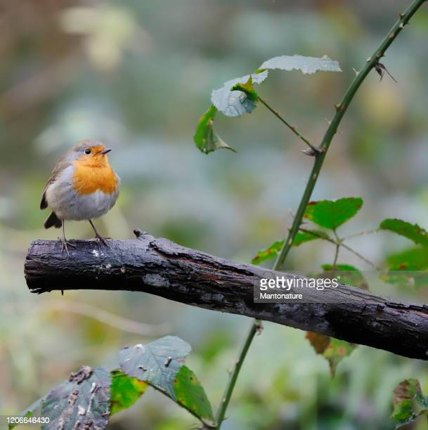 robin (erithacus rubecula) - robin stock pictures, royalty-free photos & images