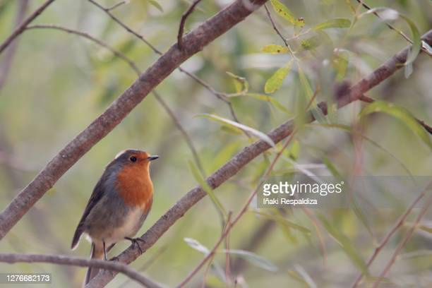 robin - iñaki respaldiza stock pictures, royalty-free photos & images