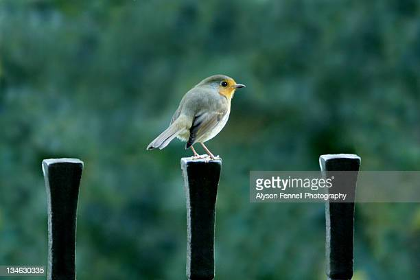 robin. - alyson fennell stock pictures, royalty-free photos & images