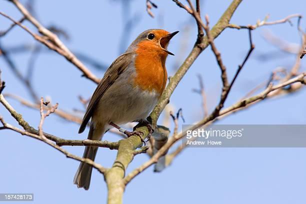 robin (erithacus rubecula) - chanter photos et images de collection