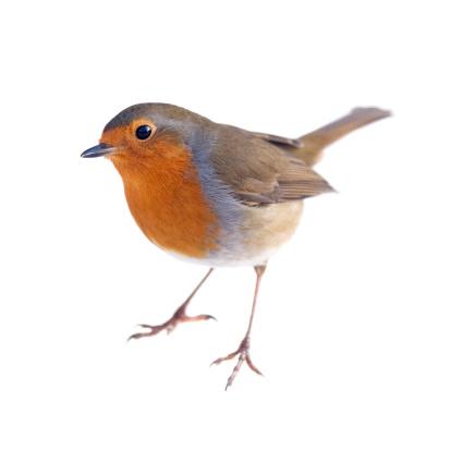 Robin 157529096