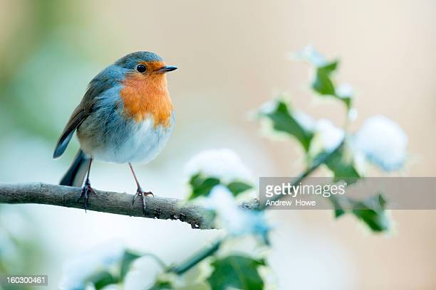 robin (erithacus rubecula) - bird stock pictures, royalty-free photos & images