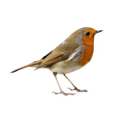Robin (Erithacus rubecula) 471196487