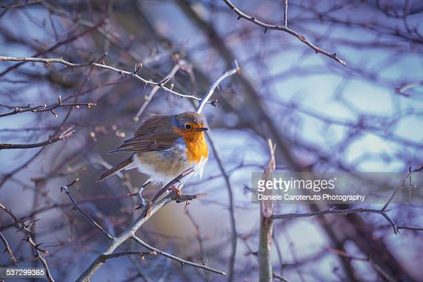 robin - daniele carotenuto stock pictures, royalty-free photos & images