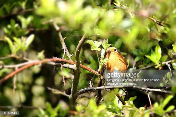 robin - gregoria gregoriou crowe fine art and creative photography stockfoto's en -beelden