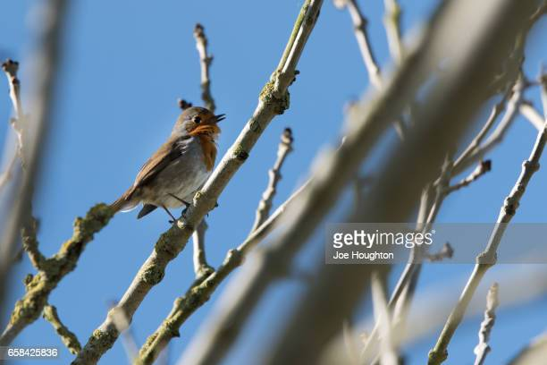 robin - birdsong stock pictures, royalty-free photos & images