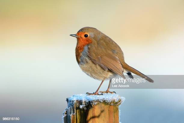 robin - songbird stock pictures, royalty-free photos & images
