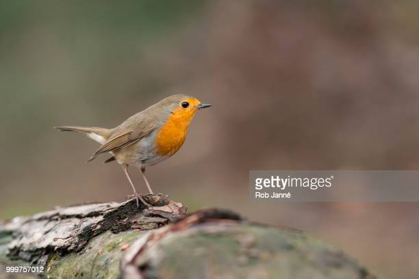 robin - robin stock pictures, royalty-free photos & images