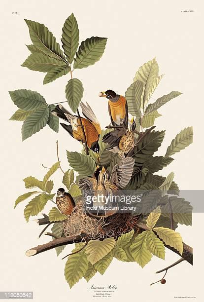 Robin Plate 131 in John James Audubon's Birds of America late 1830s