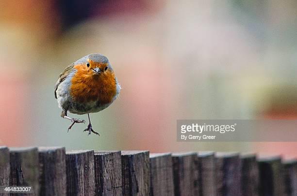 Robin Red Breast Landing
