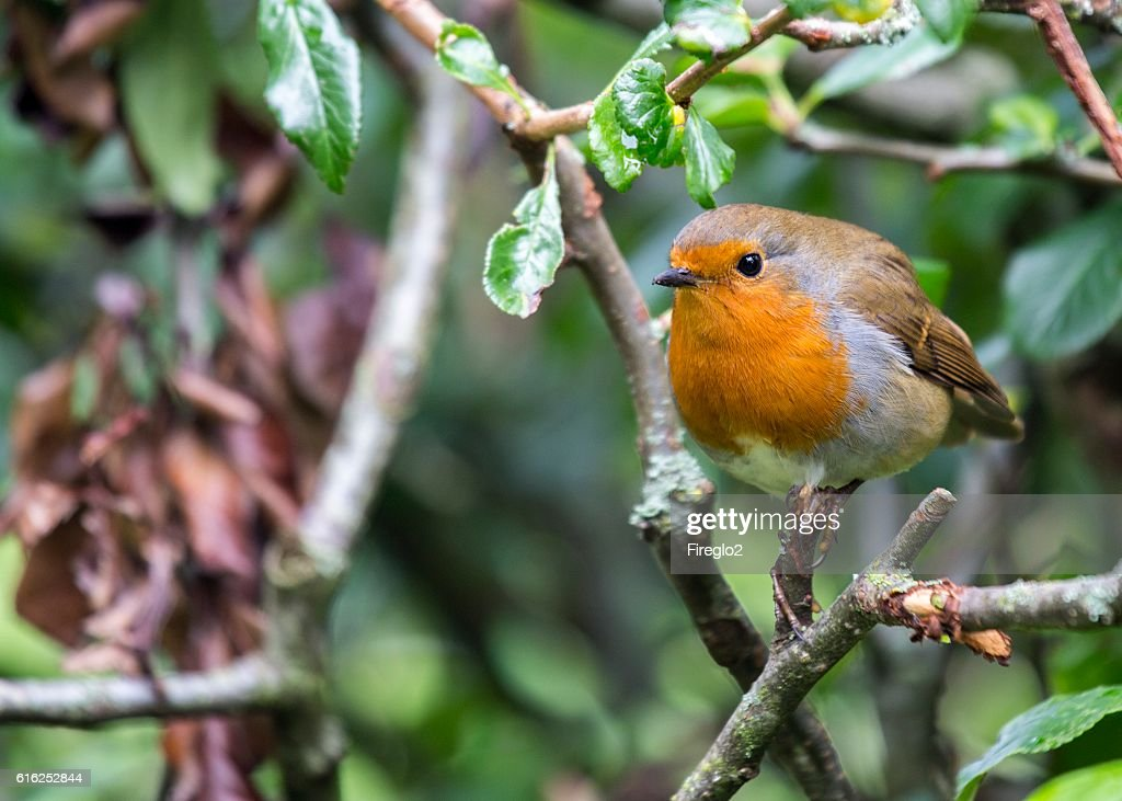 Robin Red Breast (Erithacus rubecula) : Stock Photo