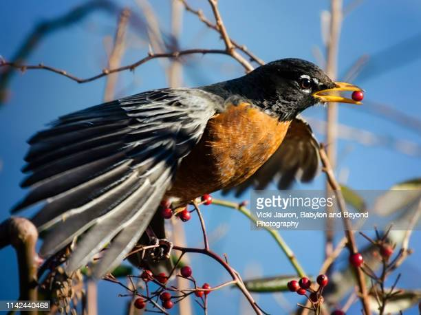 robin red breast with red berry at brightwaters lake - american robin stock pictures, royalty-free photos & images