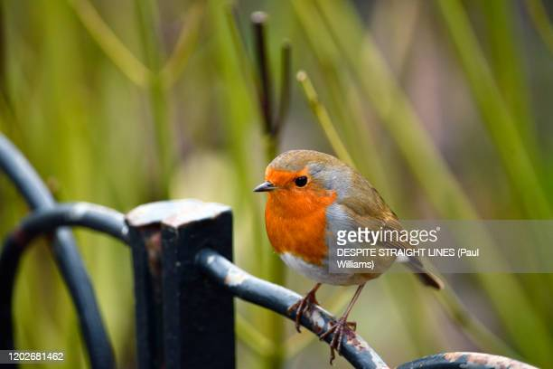 robin redbreast (erithacus rubecula) - bird stock pictures, royalty-free photos & images