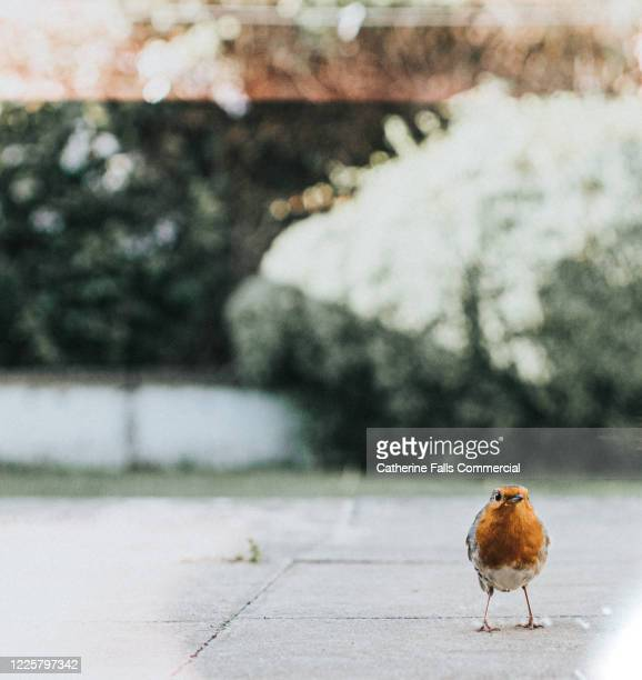 robin redbreast - young bird stock pictures, royalty-free photos & images