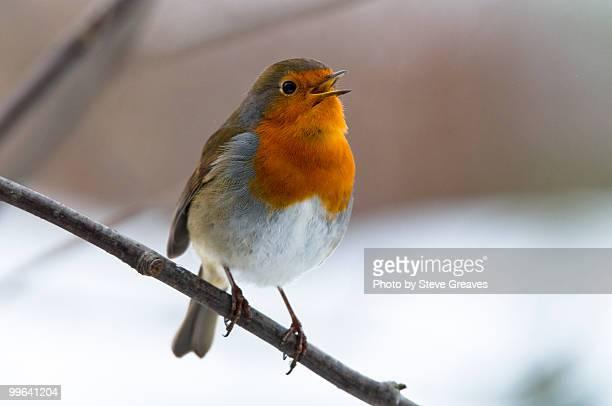 robin (erithacus rubecula) singing in a rowan tree - pettirosso foto e immagini stock