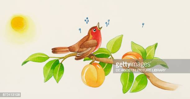 Robin sings sitting on an apricot tree branch with fruits children's illustration drawing