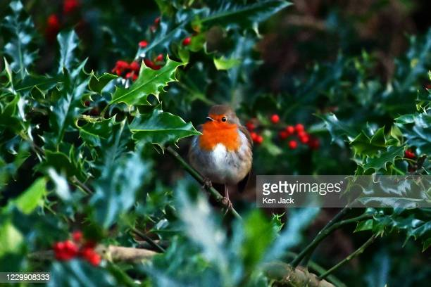 Robin sits on a holly branch at the RSPB's Loch Leven nature reserve, on December 2, 2020 in Kinross, Scotland.