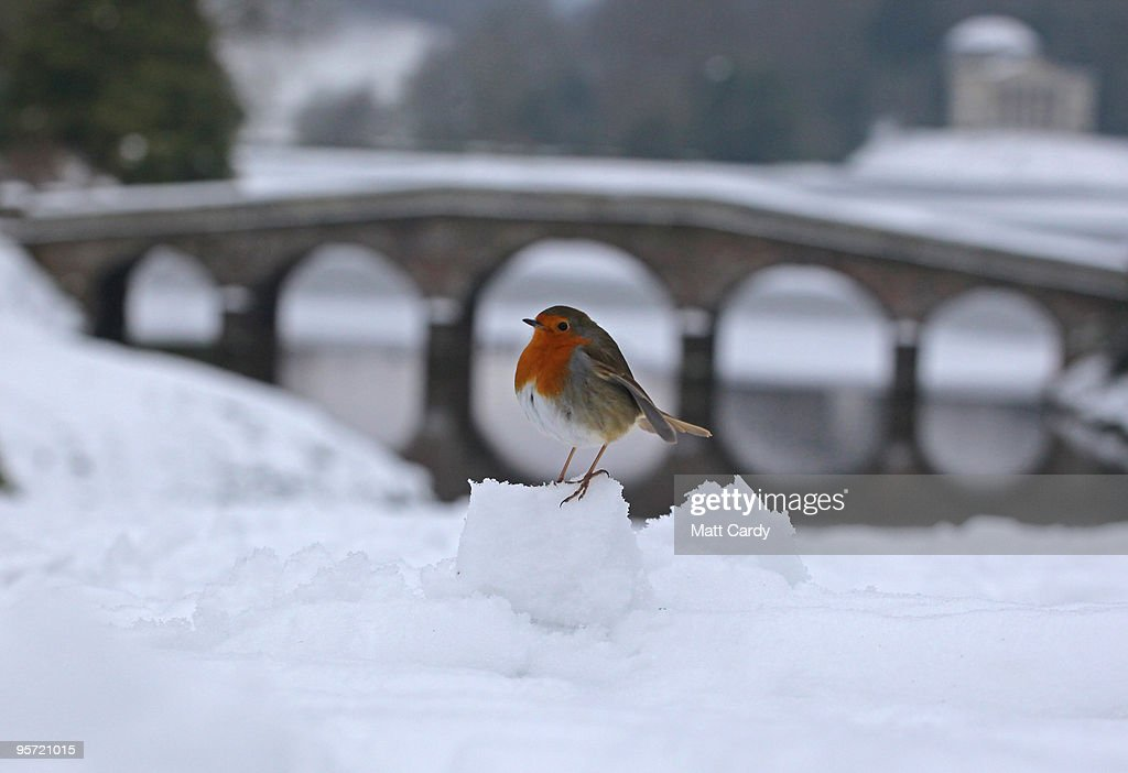 A robin sits on a snow ball in front of a bridge crossing the frozen lake at the National Trust's Stourhead near Warminster on January 12, 2010 in Wiltshire, England. Much of UK is still experiencing extreme winter weather and the Met Office has issued new severe weather warnings for the South West of England warning of heavy snow overnight and tomorrow.