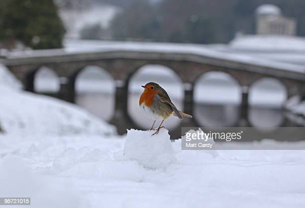 A robin sits on a snow ball in front of a bridge crossing the frozen lake at the National Trust's Stourhead near Warminster on January 12 2010 in...
