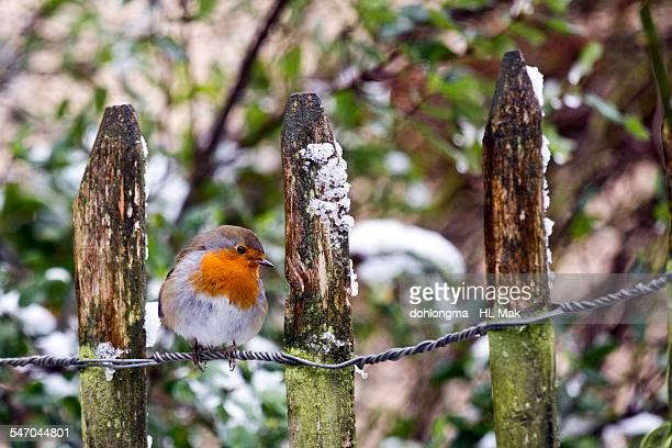 Robin standing on garden fence