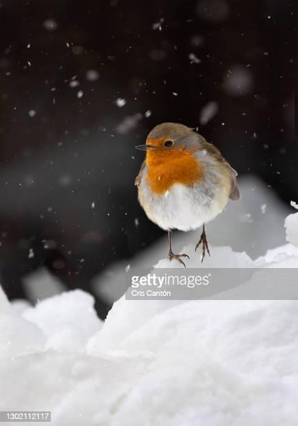 robin standing on the snow - cris cantón photography fotografías e imágenes de stock