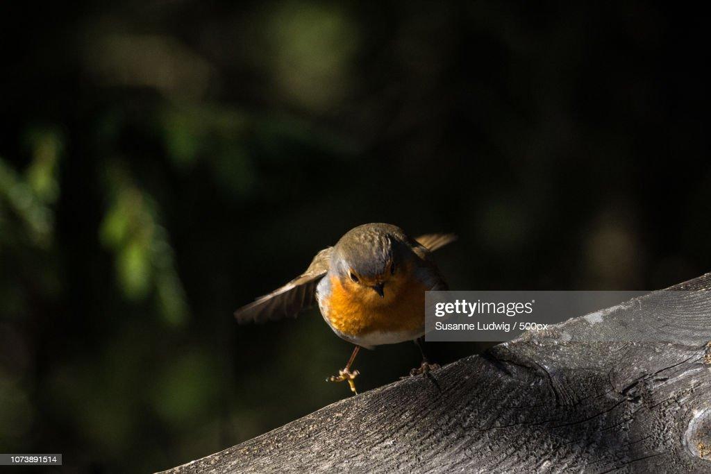 robin: take off : Foto de stock