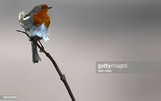 A robin tries to stay on a branch as it is blown around by winds on January 4 2012 in Woolacombe England After being battered by wind and rain...