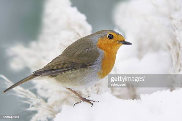 robin with snow - robin stock pictures, royalty-free photos & images