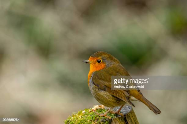 robin.jpg - robin stock pictures, royalty-free photos & images