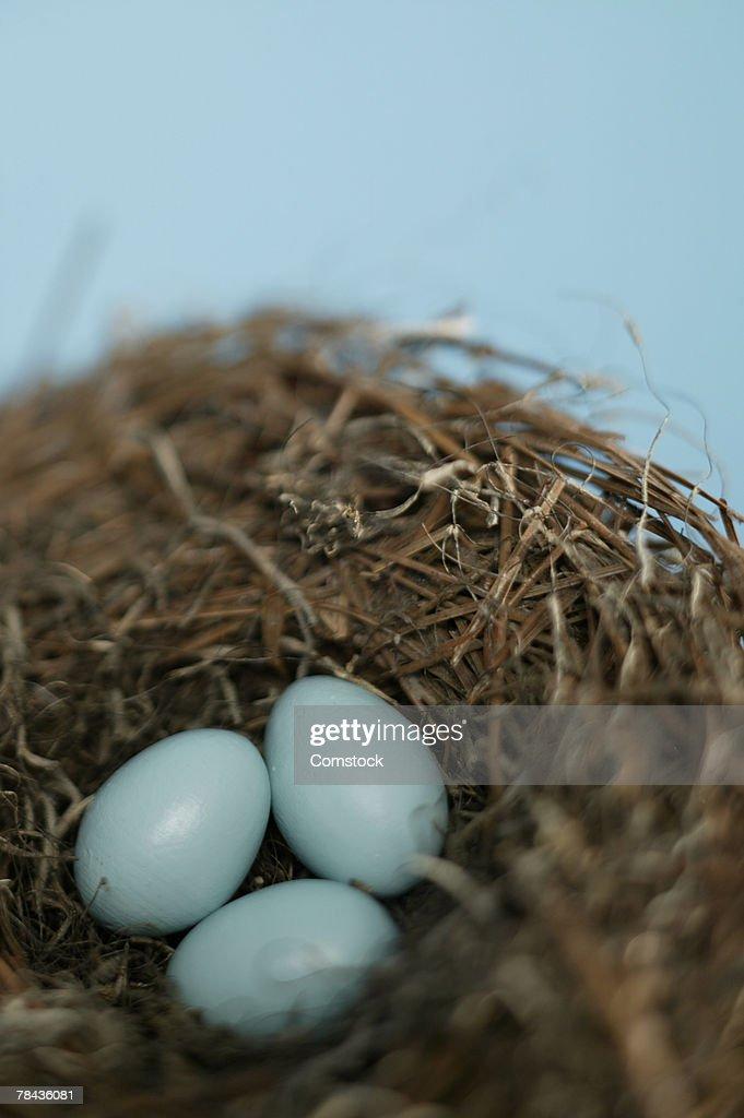 Robin's eggs in nest : Stockfoto