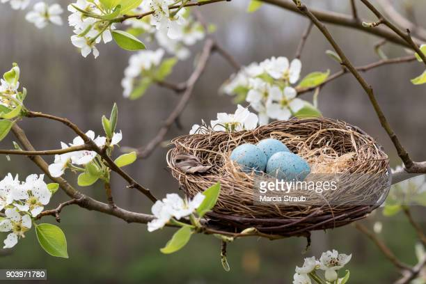 Robin's Nest  Among the Spring Blossoms