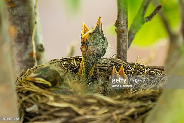 robin's nest on kwanzan cherry tree - alma danison stock photos and pictures