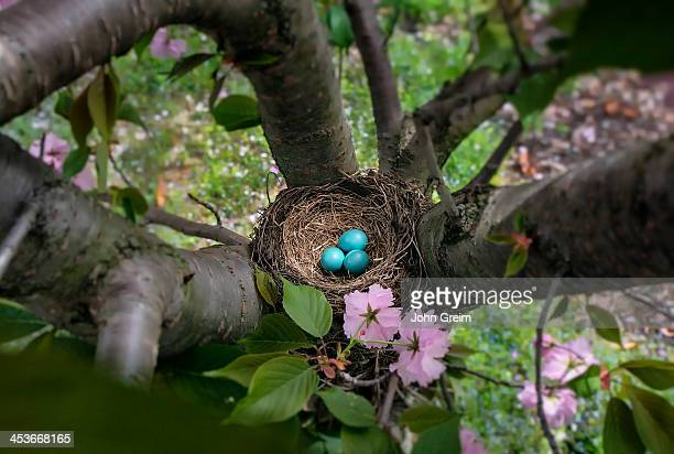 Robins nest with blue eggs