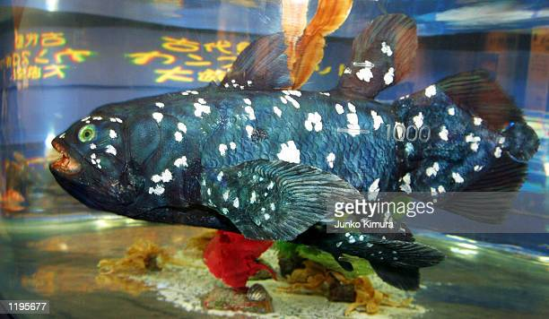 A robot fish swims in a tank at the Mitsubishi Minatomirai Industrial Museum July 30 2002 in Yokohama Japan The robot fish was created using research...